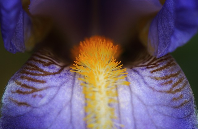 Free iris blue flowers close macro pollen flora