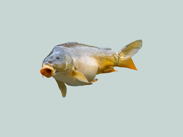 Free carp fish angler fischer fishing food creature