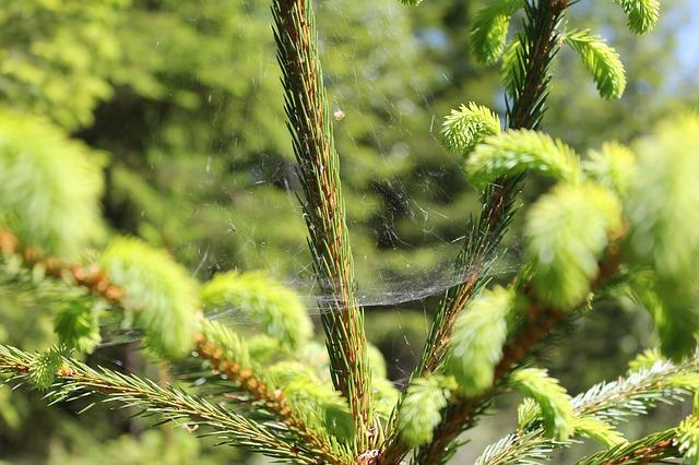 Free pine pine needles nature