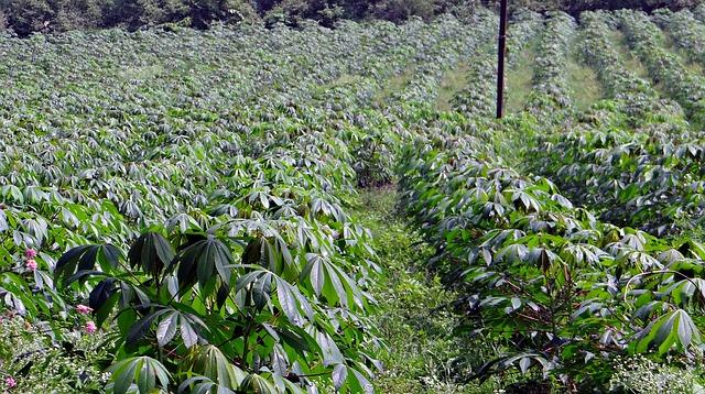 Free cassava manihot esculenta crop plantation india