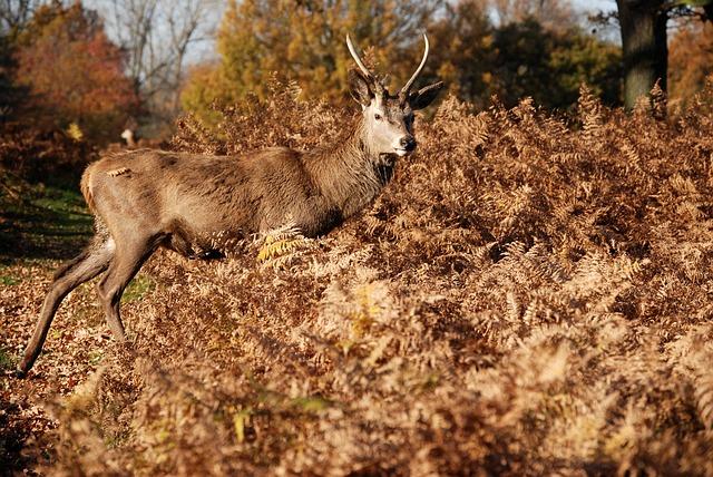 Free red deer cervus elaphus richmond park wildlife stag