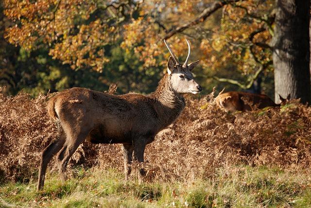 Free red deer deer cervus elaphus richmond park wildlife