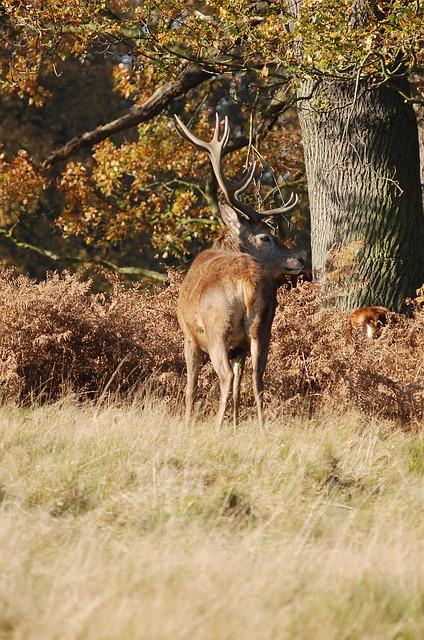 Free stag red deer cervus elaphus richmond park wildlife