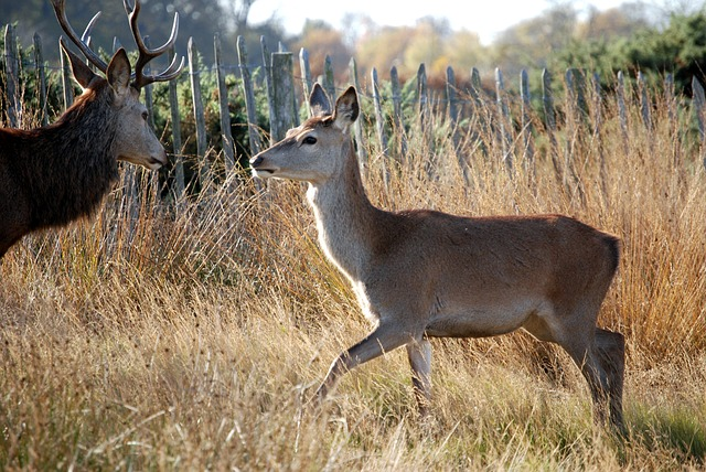 Free red deer deer mammal cervus elaphus richmond park