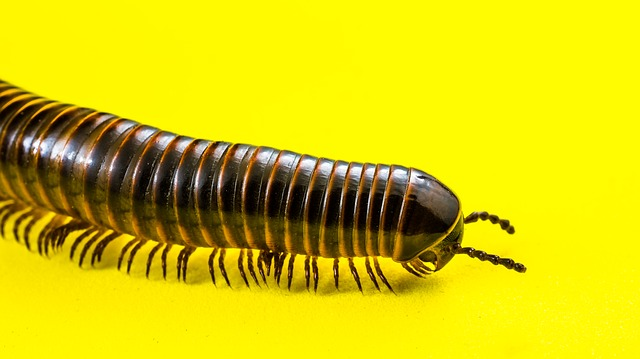 Free Photos: Millipedes arthropod giant tausendfüßer | Josch13