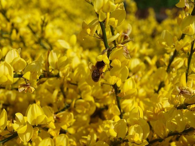 Free oilseed rape rape blossoms yellow rapsfeld flower