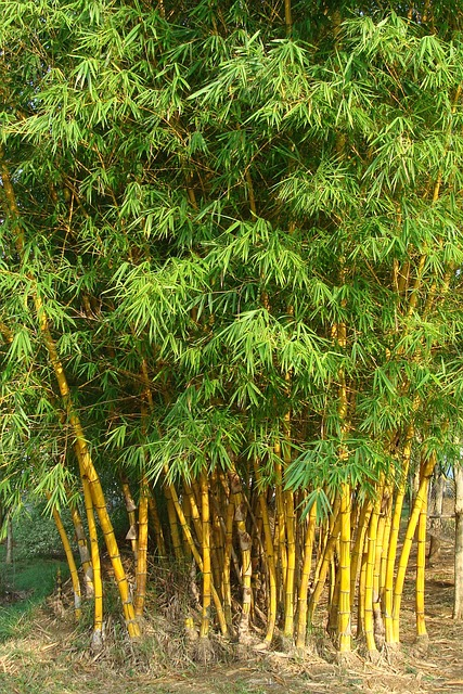 Free golden bamboo striped bamboo bambusa vulgaris