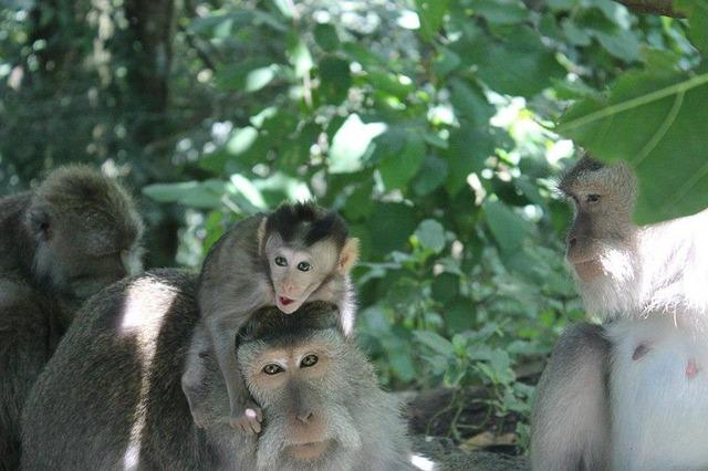 Free bali ubud monkey forest baby monkey indonesia
