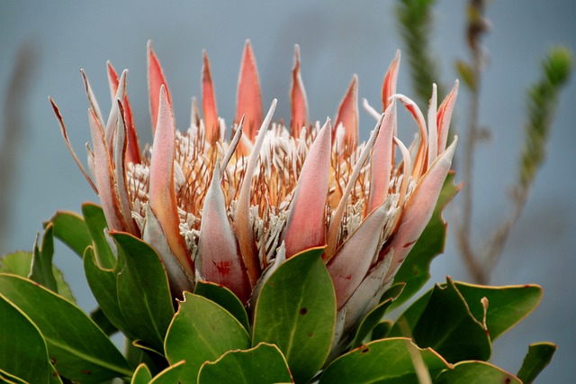 Free protea flower national flower flora petals