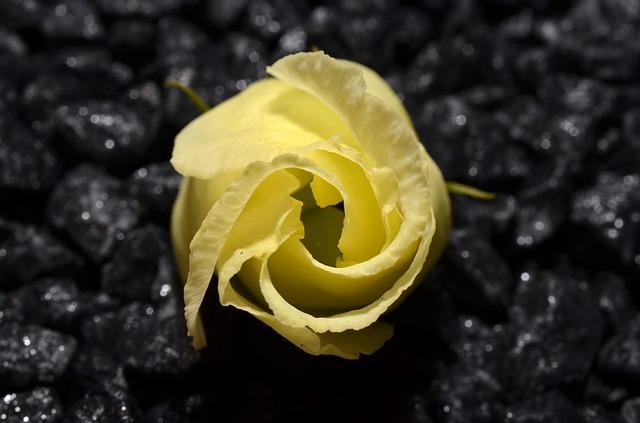 Free yellow bud ros