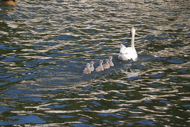 Free swan cygnets waterfowl family