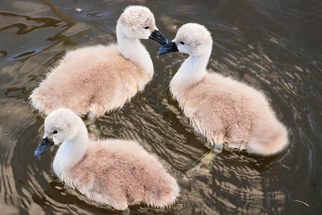 Free cygnets cute young wildlife chicks