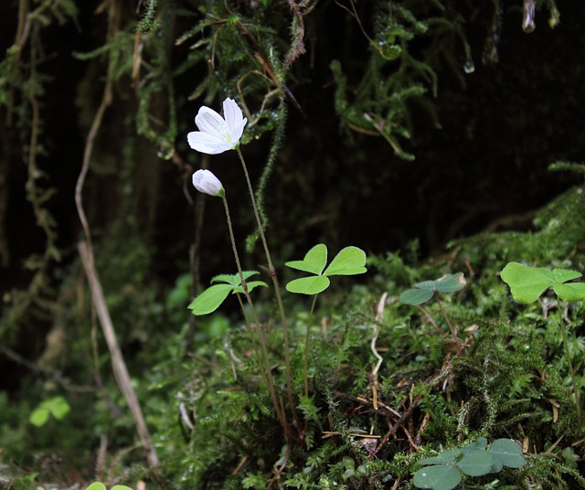 Free forest clover common wood sorrel flower nature