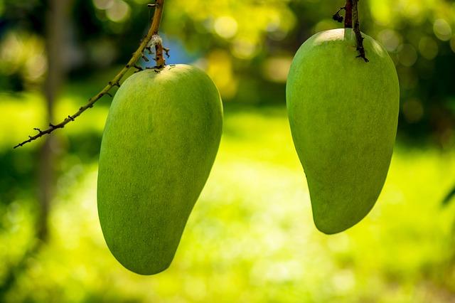 Free mango mango tree fruits fruit green mango