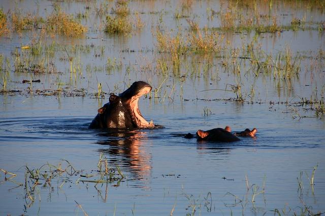 Free hippopotamus hippo water river nature africa