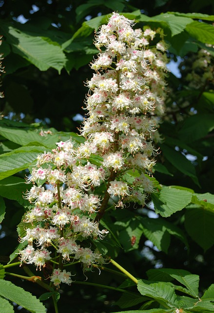 Free horse chestnut tree flower conker