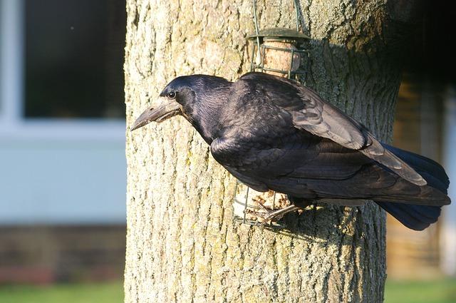 Free crow rook corbie corby corvus frugilegus beak