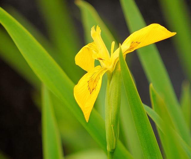 Free iris flower swamp iris yellow iridaceae close