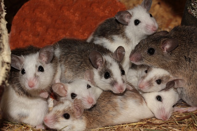Free much tit mice mice nager rodents pets mastomys