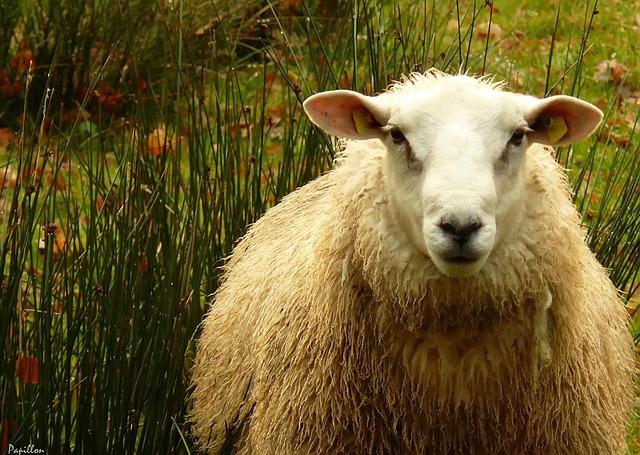 Free sheep sheep's wool wool animal animal world pets
