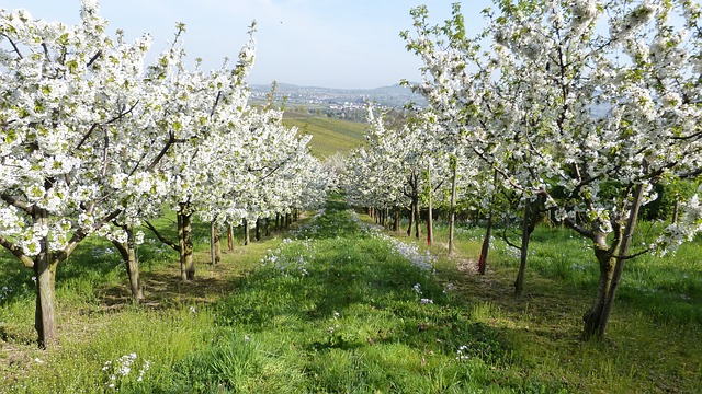 Free spring trees fruit trees flower white nature