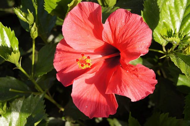 Free hibiscus hibiscus syriacus rose chinese poślubnik
