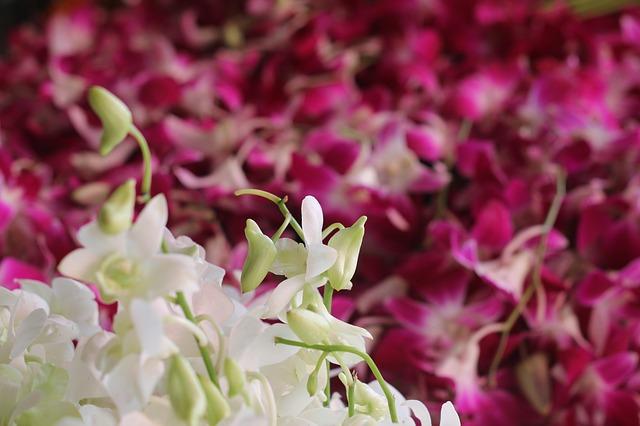 Free flower market orchids fresh white purple thailand