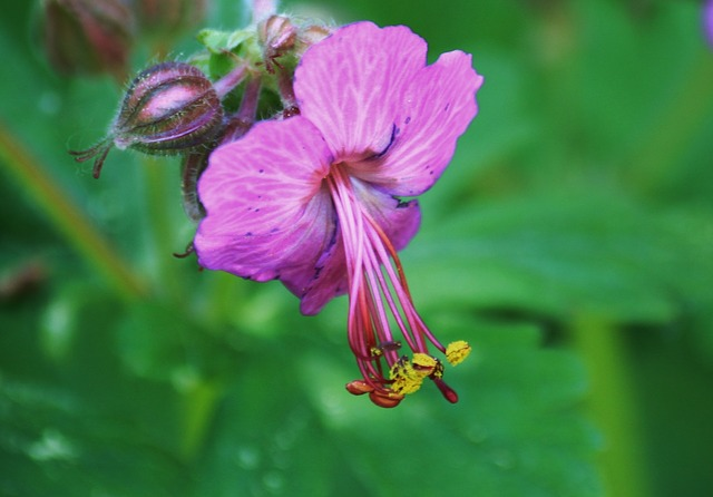 Free cranesbill flower bloom garden purple macro plant