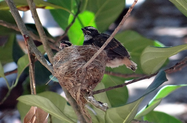 Free chicks fledglings white-throated fantail flycatcher