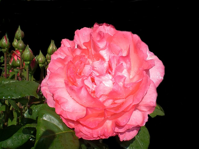 Free rose love beautiful flower color