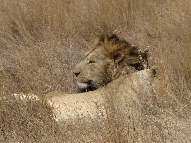 Free lion adult lying grown up