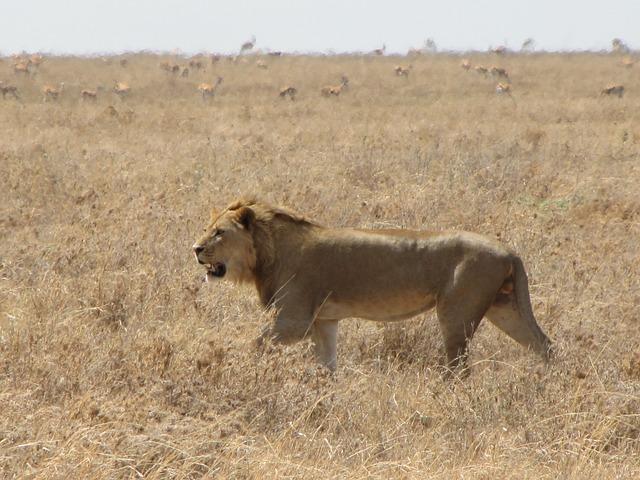 Free lion runs animals background hunting tanzania