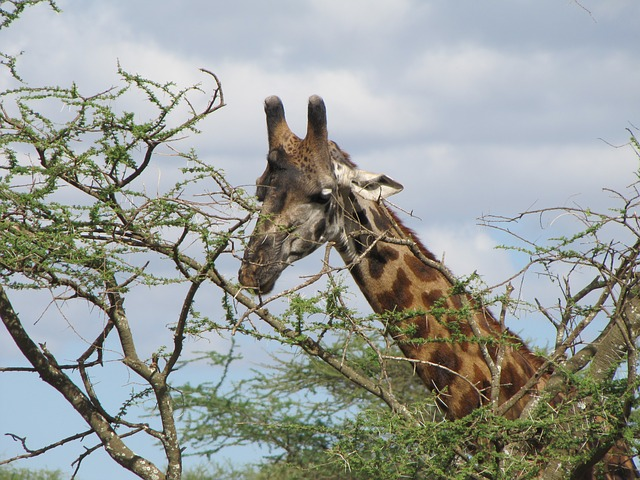 Free giraffe head tree food tanzania