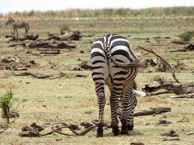 Free zebra ass back tanzania