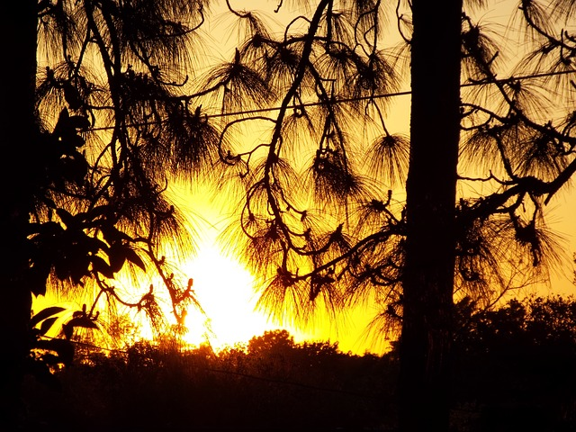 Free sunset sun trees pine trees pine branch wire dusk