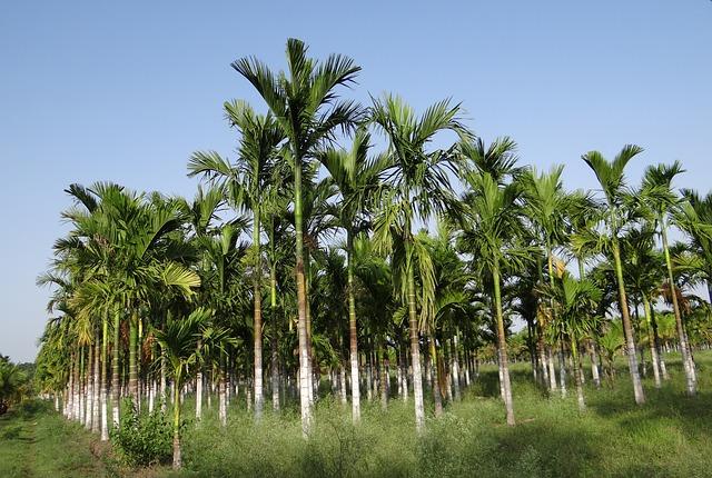 Free plantation areca nut areca palm areca catechu