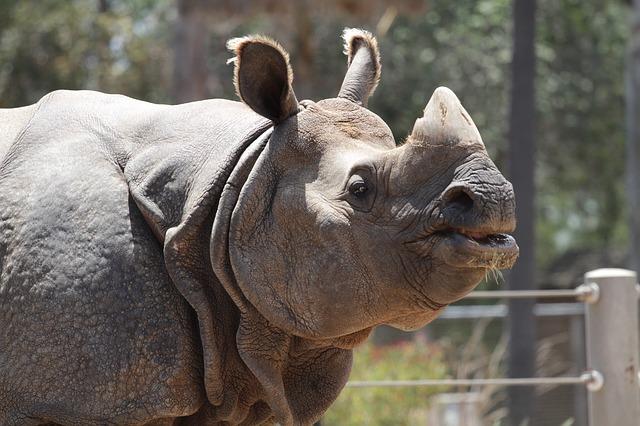 Free rhino animal wildlife wild zoo safari rhinoceros