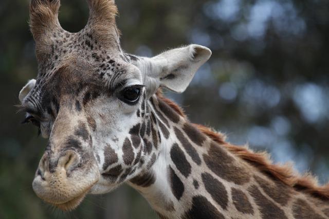 Free giraffe closeup animal big wildlife zoo safari