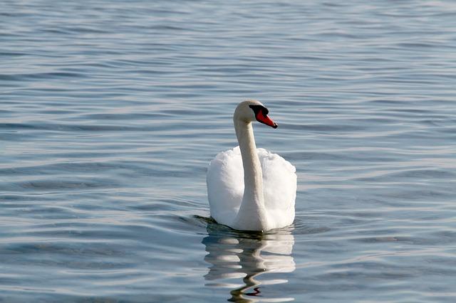 Free swan lake bird water birds