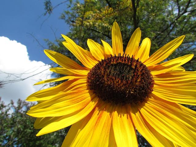 Free sun flower close yellow sky flower flowers bodnar