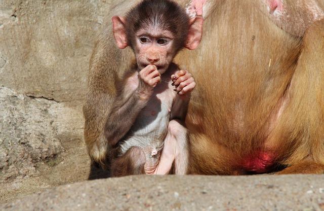 Free baboon papio hamadryas baboons hamadryas monkey