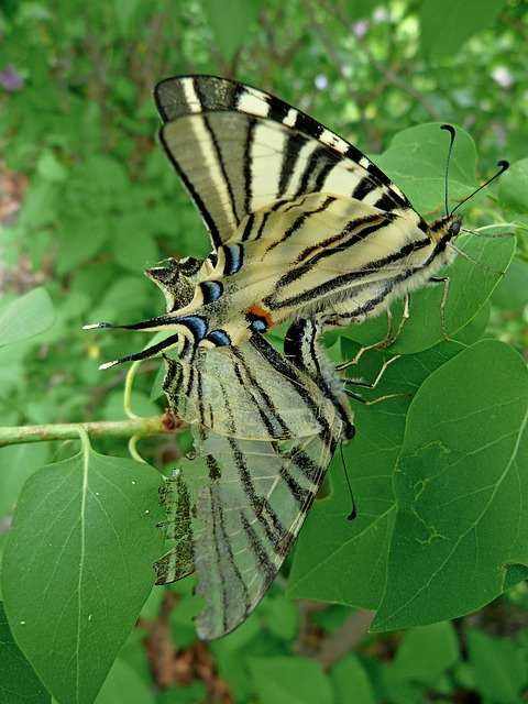 Free Photos: Swallowtail grand door tail butterfly nature | claude alleva