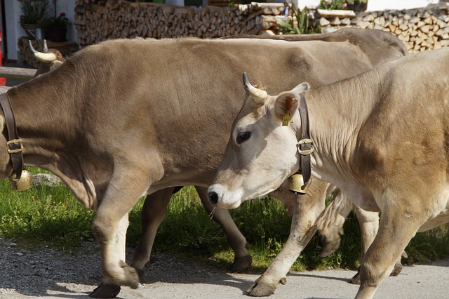 Free cows farm homeward bound dairy cattle cow