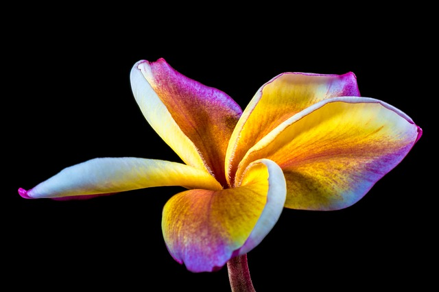 Free flower frangipani plumeria white yellow purple