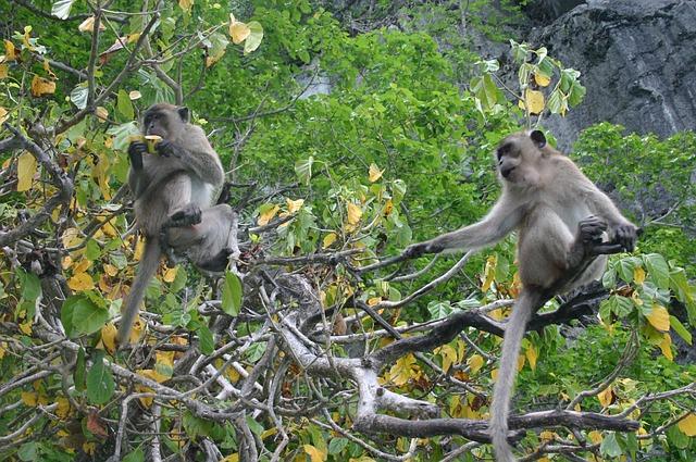 Free ape monkey äffchen mammal nature thailand
