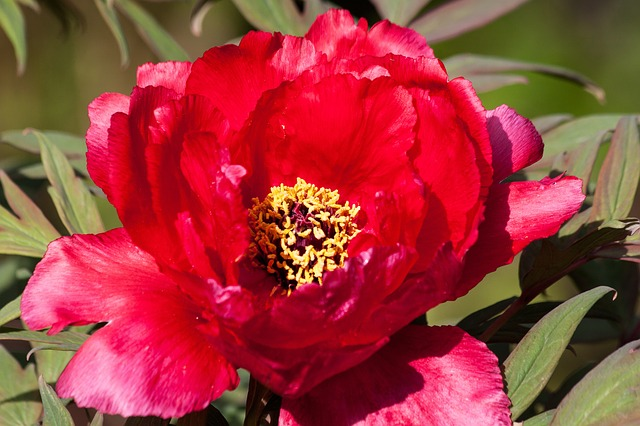 Free peony flower nature flora spring ornamental plant