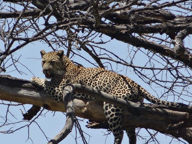 Free leopard prey dead tree