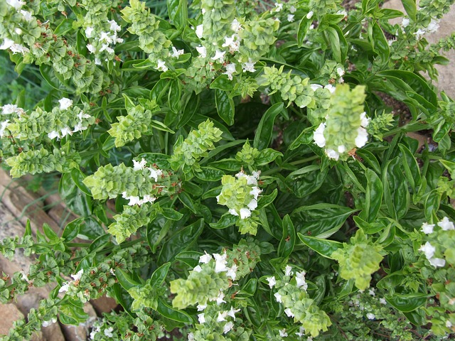 Free basil spices herb plant