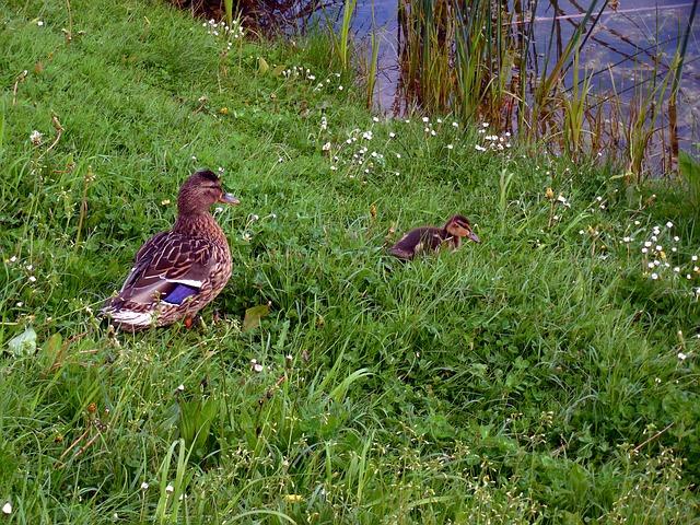 Free duck chicks ducks small fluff duck family