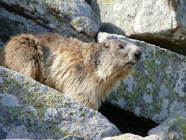 Free marmot rodent herbivore spring rocks alps watcher